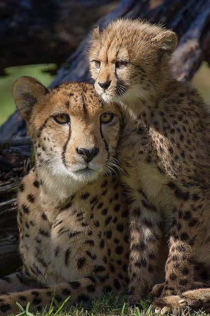 Cheetah and cub                                                                                                                                                                                 Mais