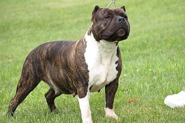 Different Types of Pitbulls Breeds