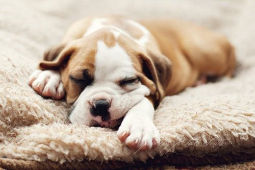 AwwBulldogs Puppies, Pets Portraits, Animal Lovers, Boxers Puppies, The Face, Sleepy Puppies, Sweets Dreams, Naps Time, Sleep Puppies