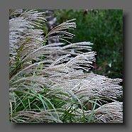 miscanthus-sinensis-malepartus-fleurs