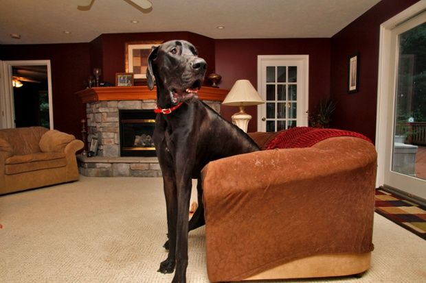 Zeus sits in a love seat at the family home. RIP Zeus!