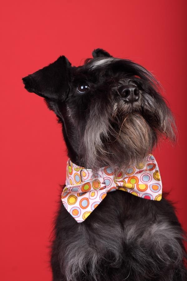 Schnauzer bow tie collar