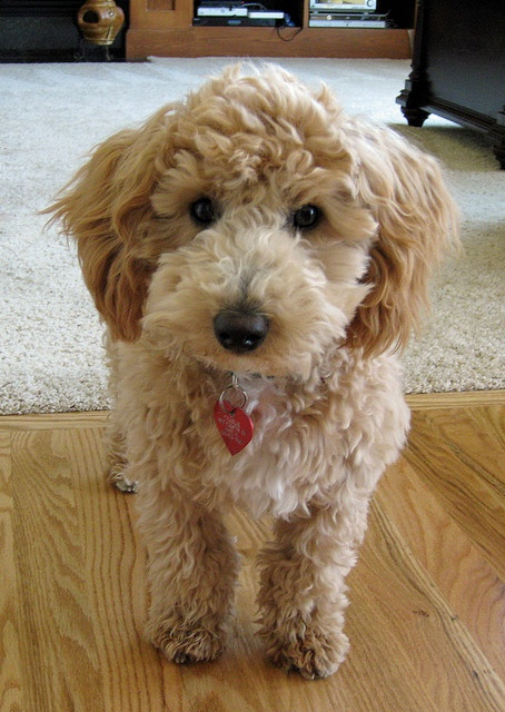 Its A Poochon All Creatures Great And Small Pinterest Minis Photos And Salem S Lot