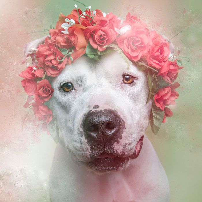 Artist Photographs Pit Bulls In Floral Crowns To Show Their Softer Side And Encourage Adoption - Rex