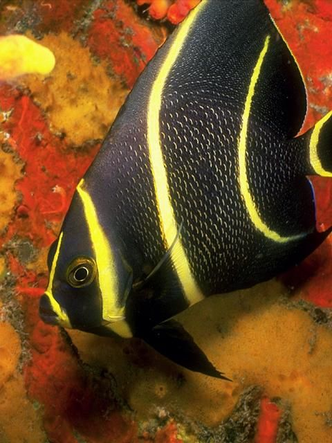 """French Angelfish - but of course I am french!  Can't you just see my little, pucker mouth going """"ooh la la"""""""