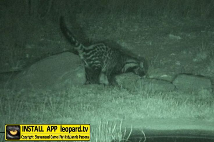 What is the African civet doing in this photo? #science #didyouknow #leopardtv