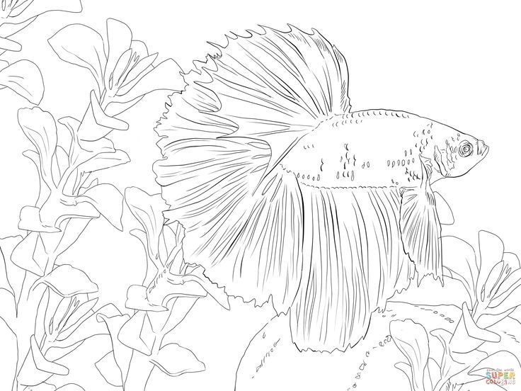 Betta Fish Coloring Pages Betta Fish Coloring Online Fish Coloring Page Animal Coloring Pages Fish Drawings
