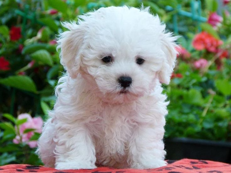 Bolognese Puppy...I can have these!  So cute and extremely similar to the Bichon but it says they are more calm...hmmm