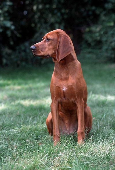 Red-Bone Coon Hound