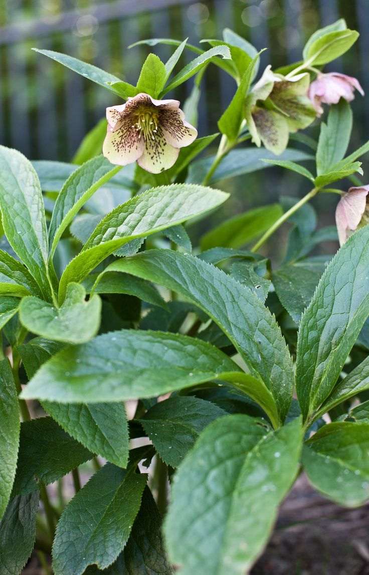 Close up of Hellebores