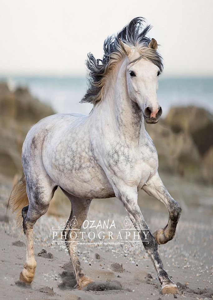Grey Beauty, horse, hest, animal, furry, beautiful, gorgeous,