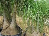 Image result for pata de elefante planta