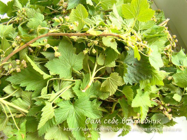 Вессений марафон: заготавливаем листья смородины