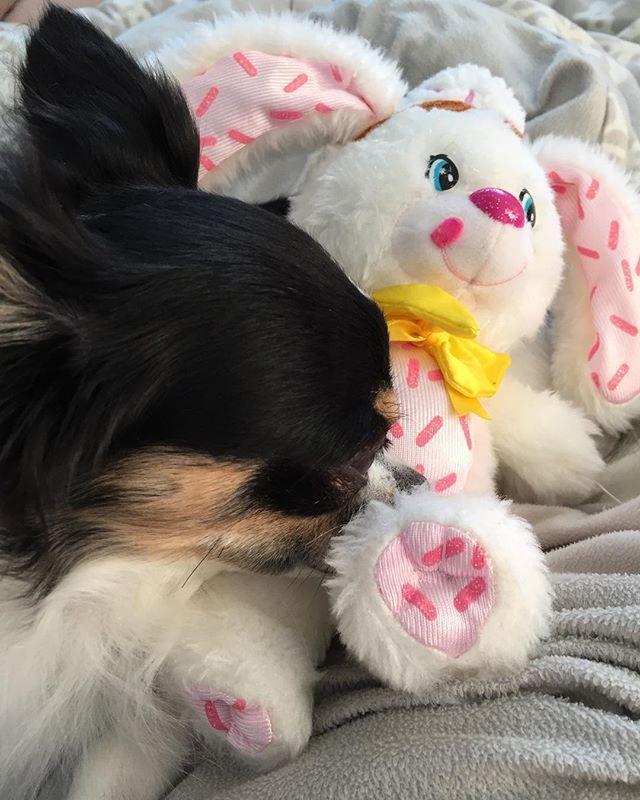 うさちゃんとねんねかな❓ #ヤムヤムズ #ファッジーウェッジーバニー #トッピンズ #牛柄 #牛柄チワワ #愛犬 #チワワ #チワワ部 #ロンチー #ロングコートチワワ #チワワちゃん #チワワラブ #チワワン #ブラックタンandホワイト #可愛い #わんこさん #chihuahua #Japan #dog #love #cute #baby #instadog #mybaby #myfriend