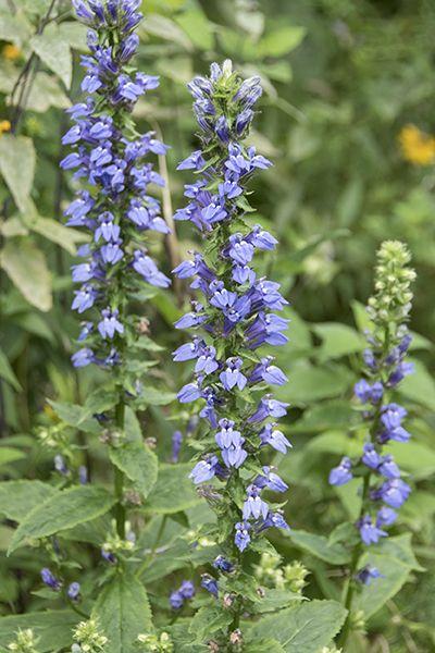 Great Blue Lobelia (Lobelia siphilitica) : Prairie Nursery : Native Plants