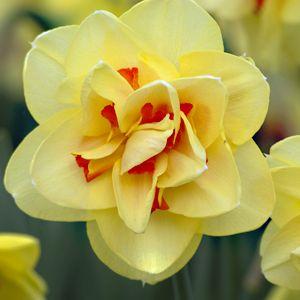 Daffodils Holland And Bulbs On Pinterest