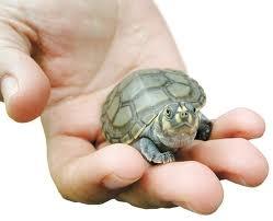 ţestoasa lui Hermann -