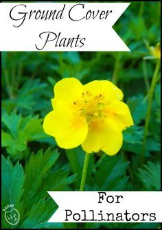 Ground Cover Plants for Pollinators l Homestead Lady (.com)