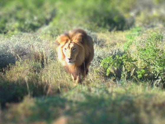 The Sunlit King of Amakhala, Amakhala Game Reserve
