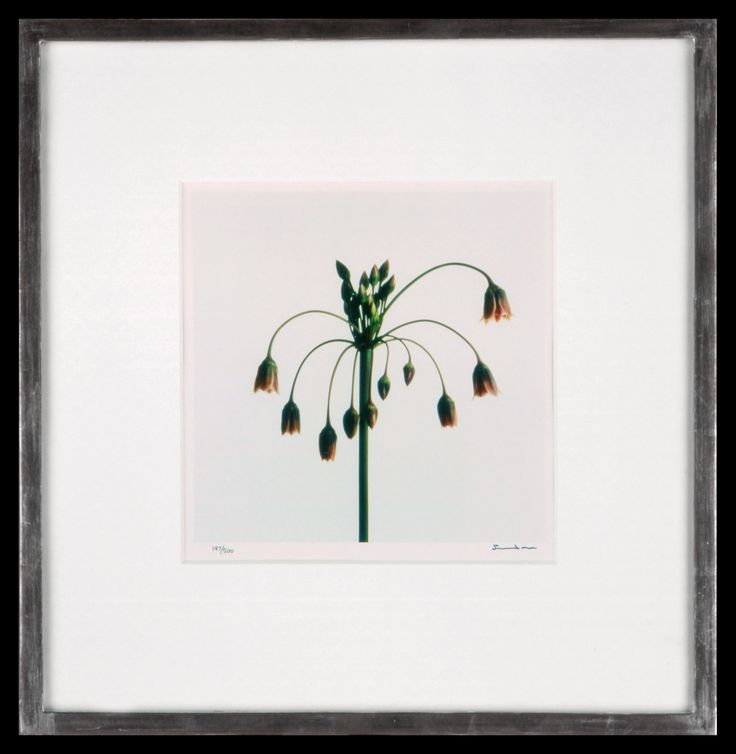 Lord Snowdon | Allium | Limited Edition Photograph, part of a set of 8 | 10 x 8 inches | £1,450 (for the set, unframed)  These photographs come as a portfolio; there are eight photographs in the set. Each image has been signed by Lord Snowdon.