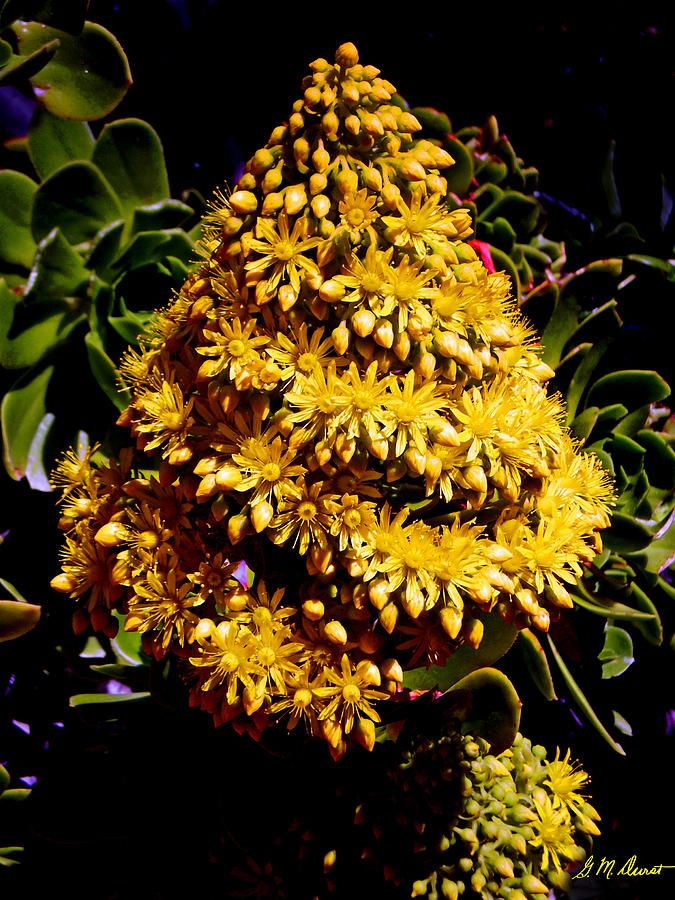✯ Nature's Christmas Tree - Succulent in bloom in Cape Town