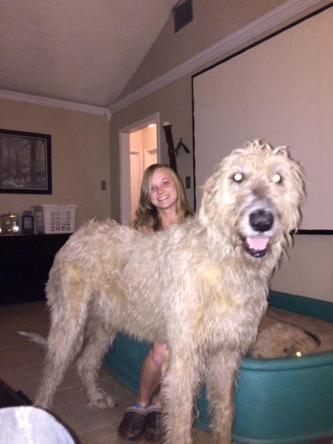 Litter of 8 Irish Wolfhound puppies for sale in LAKE JACKSON, TX. ADN-20793 on PuppyFinder.com Gender: Female. Age: On the way