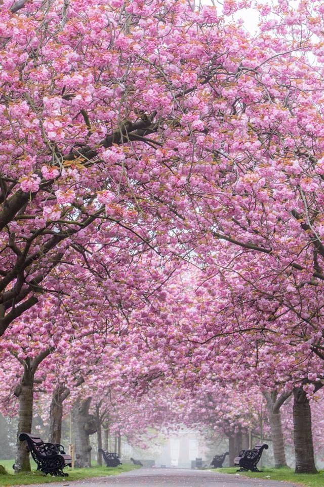The Stunning Cherry Blossom Greenwich Park Greenwich Park Love Flowers Plants