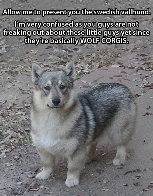 Swedish Vallhund is a breed of dog. I think, translated vallhund means farm dog :)