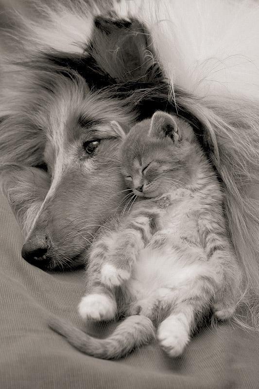 Sweetness. Pup & kitten cuddling. The kitten looks so content :)