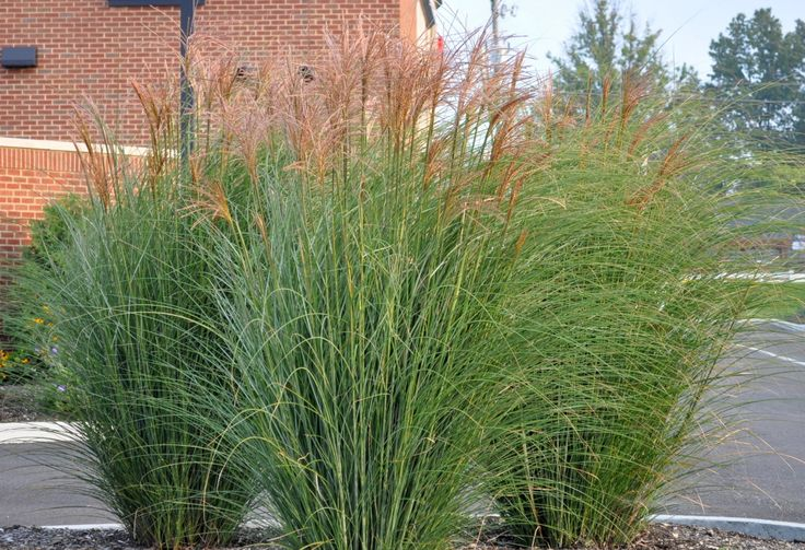 Miscanthus 39 gracillimus 39 common name maiden grass full for Full sun ornamental grass