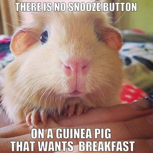 There's no snooze button on a Guinea pig that wants breakfast.
