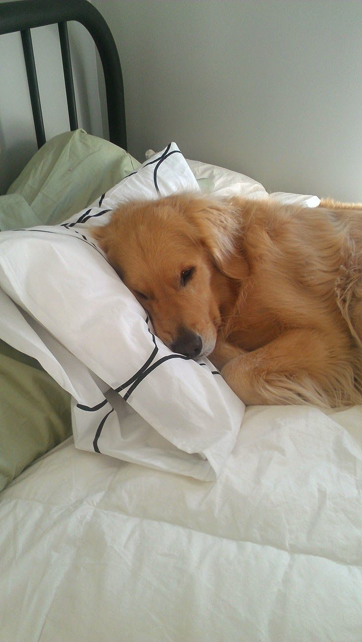 Sleepy Cute Golden retriever puppy looking Beautiful | Cute puppy and dog