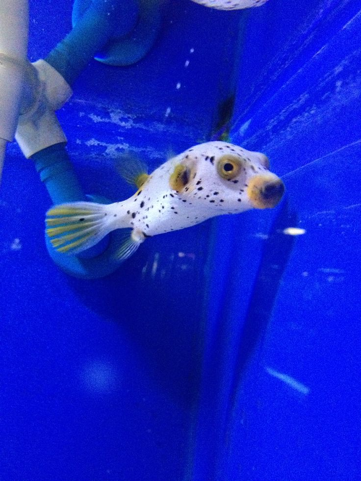 1000 images about salt water fish on pinterest salts for Water dog fish