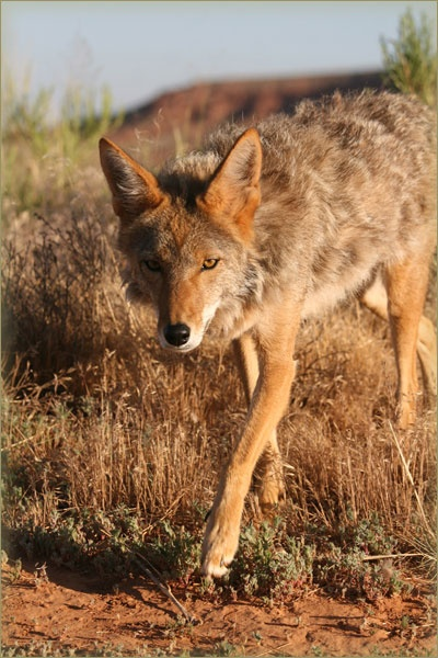 Charlie the Coyote