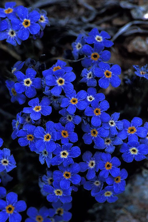 Wildflower Alpine Forget-me-not - Grand Teton National Park selected this species as its official plant, suggesting the beauty of the alpine zone.