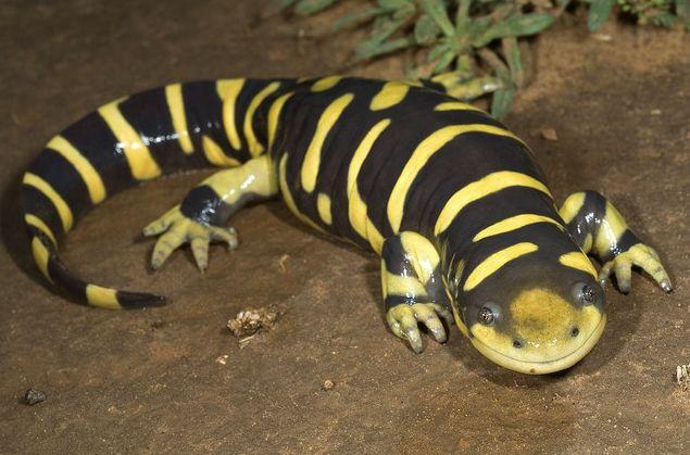 tiger salamander by the horned jack lizard