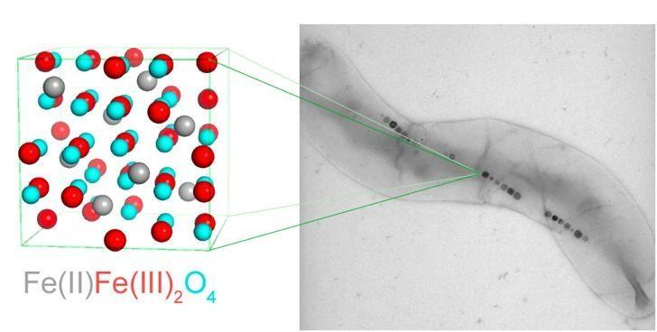 Magnetobacterias produciendo nanoimanes