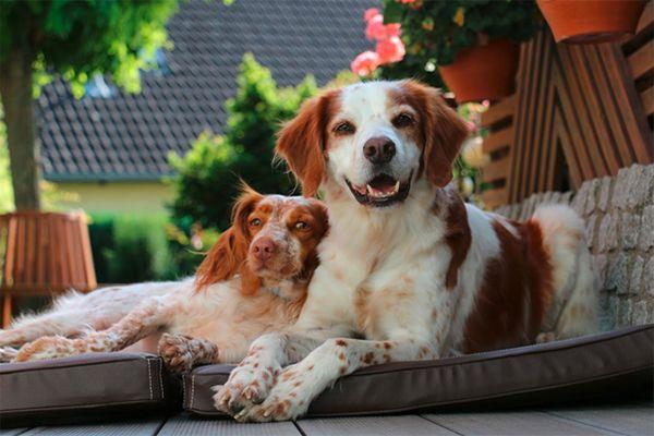 Die Bretonen Deco & Pippa entdecken Hundebett Ares & Hundematte Carlos von tierlando