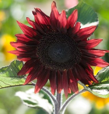 ProCut Red F1 Sunflower Purchased 2/15 - Johnny's Selected Seeds - Superior Seeds & Gardening Tools