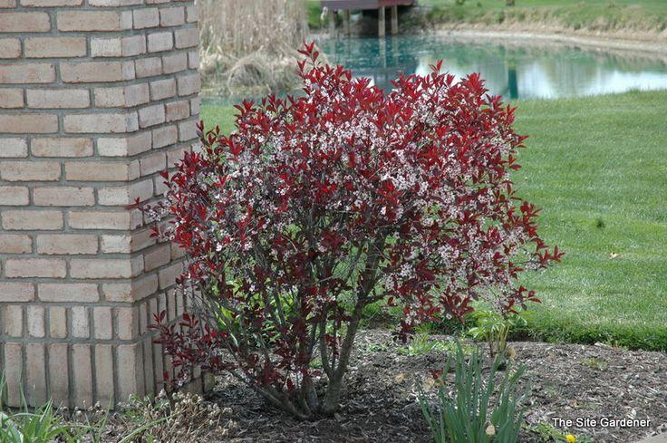Prunus Cistena - Hess Landscape Nursery - Finleyville, Pennsylvania