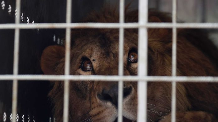 Two lions rescued from neglected zoos in war zones in Iraq and Syria have been transported to South Africa to live at a sanctuary with other animals that survived harsh conditions in captivity elsewhere in the world.http://ift.tt/2CJtfOY