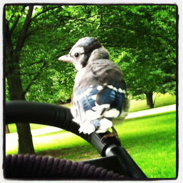 Baby Blue Jay ~sms~