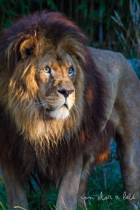 Alex es el pedazo león que reside en VigoZoo, Agosto'14 #leon #lion
