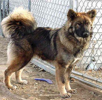 1000 images about wolf dog hybrids on pinterest wolves. Black Bedroom Furniture Sets. Home Design Ideas