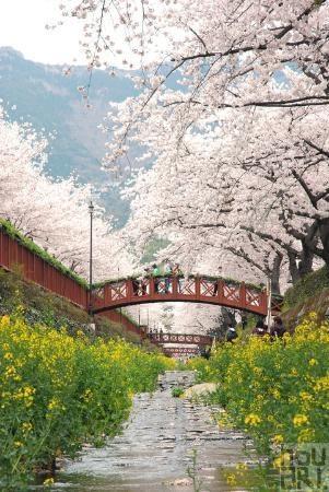 Cherry blossom, Jinhae, Korea