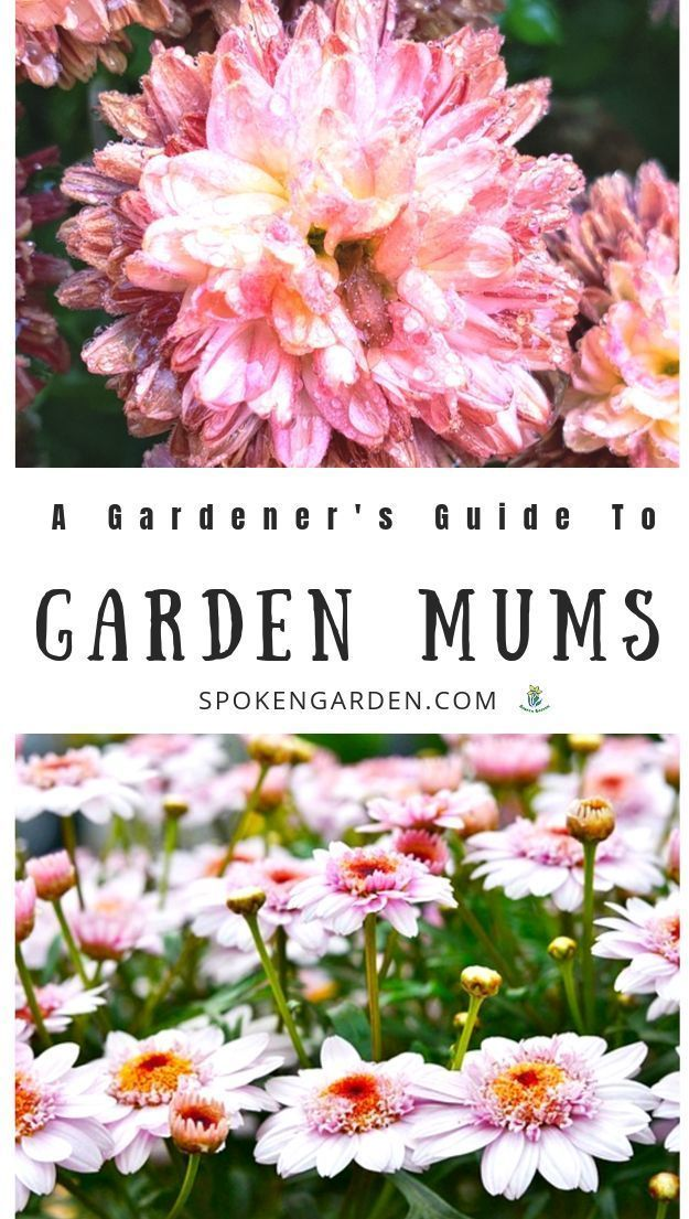 Chrysanthemums A Gardener S Guide And Plant Profile Garden Mum Chrysanthemum Care Chrysanthemum Plant