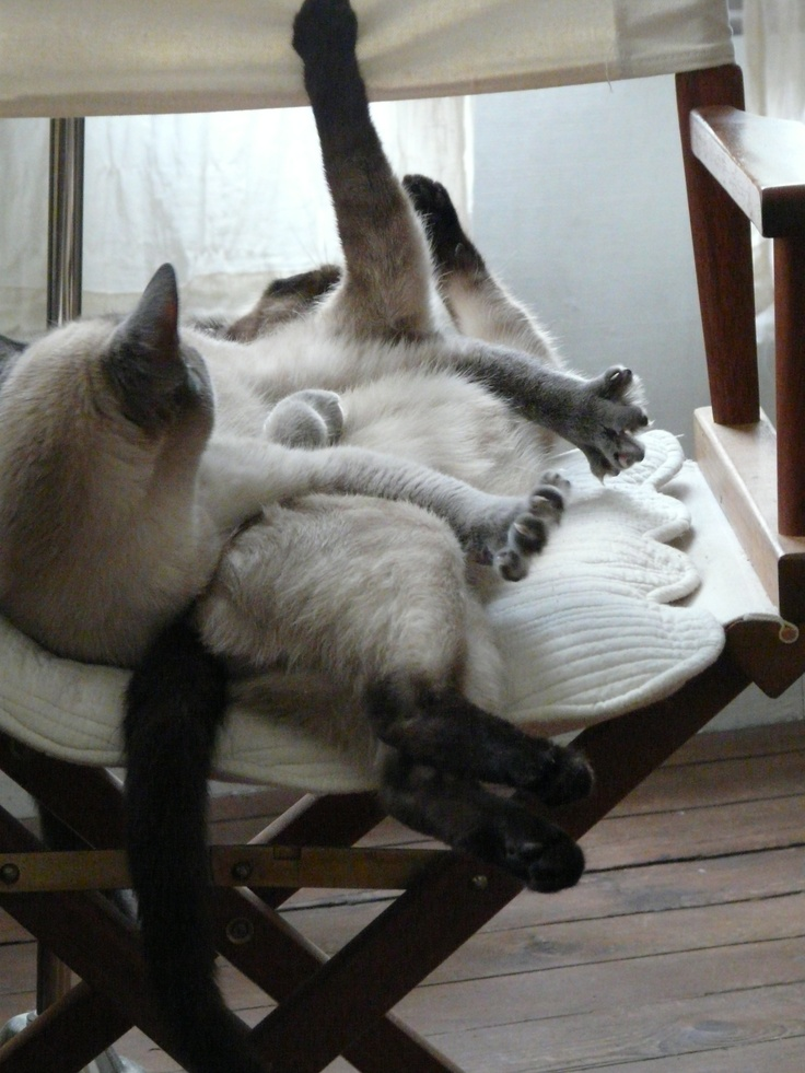 Action ! http://gastronomades.canalblog.com/archives/2007/02/04/3891991.html #bluesiamese #sealpoint #siamese