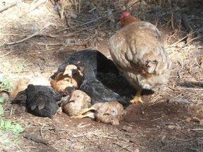 Hühner – bemerkenswerte Tiere