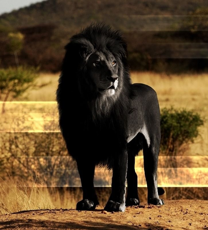 """"""" A lion with melanism, a recessive trait where the skin and fur are all black.  isnt nature..."""