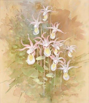 Gordon Beningfield - Pacific Calypso Orchid Calypso bulbosa